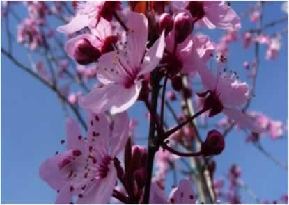 Flor de Bach Cherry Plum Sumersalud 2