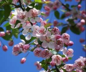 Flor de Bach Crab_apple_2 - Sumersalud