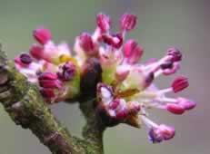 Flor de Bach Elm_2 - Sumersalud