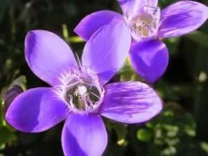 Flor de Bach Gentiam_2 - Sumersalud